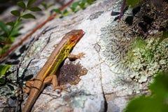 Mała Kolorowa jaszczurka Obraz Royalty Free