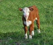 mała krowa zdjęcia stock