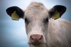 mała krowa Obrazy Royalty Free