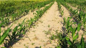 Mała kukurudza w polu zbiory