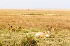 Mała lew duma jest odpoczynkowa w sawannie Kenja, Afryka Obrazy Royalty Free