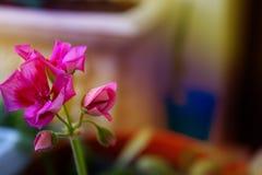 Mała menchia kwitnie, bodziszka kwiat, kwitnie menchie kwitnie dalej Zdjęcia Stock