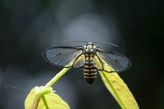 Ćma motyl w Tajlandia Zdjęcie Stock