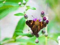 Ćma na purpurowych kwiatach zdjęcie stock