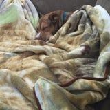Ma noix de muscade de chien Image libre de droits