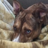 Ma noix de muscade de chien Photos libres de droits