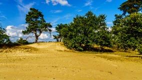 Mała oaza drzewa w mini pustyni Beekhuizerzand Obrazy Royalty Free