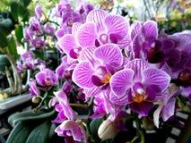 Ćma orchidea Fotografia Royalty Free