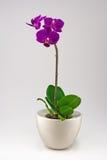 mała orchidea Zdjęcie Stock