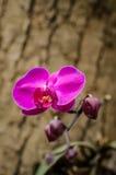 Ćma orchidea na drzewie Obraz Stock