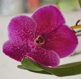 Ćma orchidea Singapur Obrazy Stock