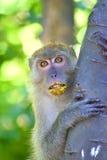 Małp oczy Obraz Royalty Free