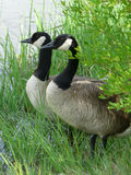 Ma and Pa. Male and female adult Canada Geese peering at the water guarding their nest in the grass stock images