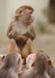 Małpa. Obrazy Royalty Free