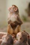 Małpa. Obraz Stock