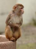 Małpa. Zdjęcia Royalty Free
