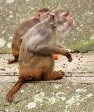 Małpa. Obraz Royalty Free