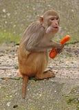 Małpa. Fotografia Stock