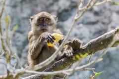 Małpa. Fotografia Royalty Free