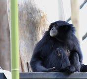 Małpa Fotografia Stock