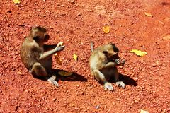 Małpa Obraz Stock