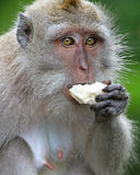 Małpa 001 Fotografia Stock