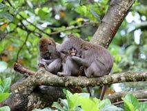 Małpa 015 Zdjęcia Royalty Free