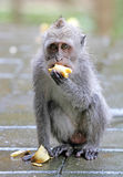 Małpa 009 Obraz Royalty Free