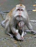 Małpa 005 Zdjęcia Royalty Free