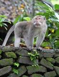 Małpa 003 Obraz Stock