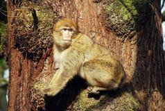 małpa Barbary Obrazy Royalty Free