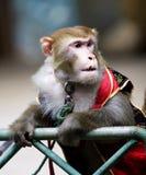 małpa cyrk Obrazy Royalty Free