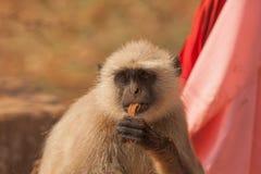 małpa indu Zdjęcie Stock