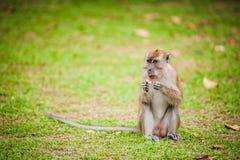 Małpa Je arachid Zdjęcia Stock