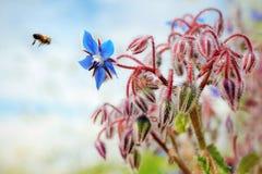 Małpa jest borage kwiatem Zdjęcia Stock
