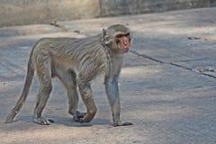 Małpa jest w Tajlandzkim parku Obrazy Royalty Free