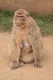 małpa kobiety Zdjęcie Royalty Free