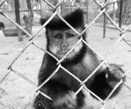 Małpa, macaco Zdjęcie Stock