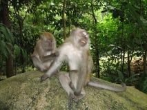 małpa makak Zdjęcia Stock