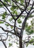 Małpa na drzewie Obraz Royalty Free