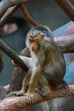Małpa na drzewie Fotografia Stock