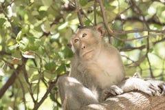 Małpa na drzewie Obrazy Royalty Free