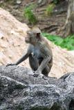 Małpa na rockowym ogrodzeniu w portrecie Obrazy Royalty Free