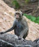 Małpa na rockowym ogrodzeniu w portrecie Zdjęcia Stock