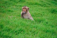 Małpa na trawie fotografia stock