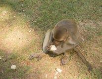 Małpa na ziemi fotografia stock