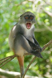 małpa noworodek Obraz Royalty Free