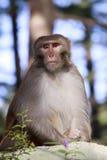 Małpa od Dharamshala miasteczka. zdjęcia royalty free