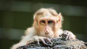 Małpa patrzeje istoty ludzkiej Obrazy Royalty Free