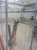 Małpa, pazurczatka obraz royalty free